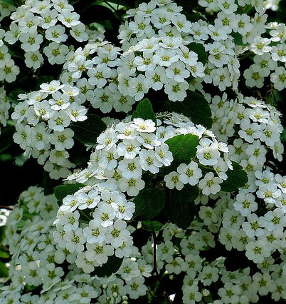こちらがコデマリの花