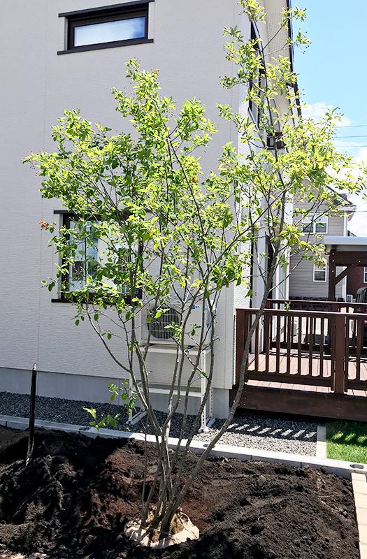 樹高3mのジューンベリー