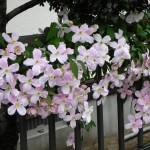つる性植物クレマチスモンタナ