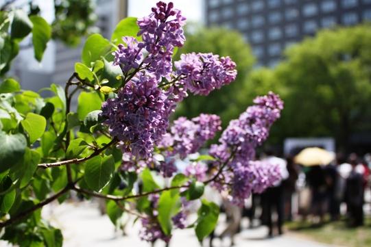 大通り公園の紫色のライラック