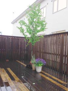 地味なのに可愛いハート型の葉をつける桂の樹