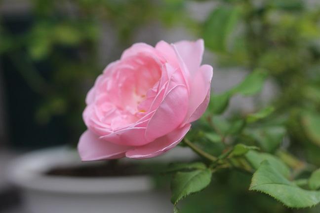 デルバール社のバラ品種ナエマ